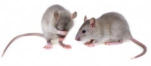 mouse model Alzheimer's